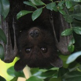 Flying fox outside kitchen window.