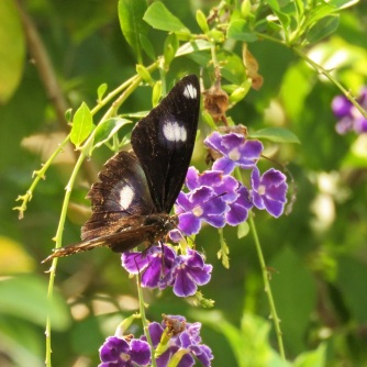 male common eggfly
