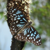 Blue tiger on grass tree flower 1