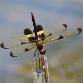 Yellow-striped Flutterer Dragonfly - Rhyothemis phyllis small